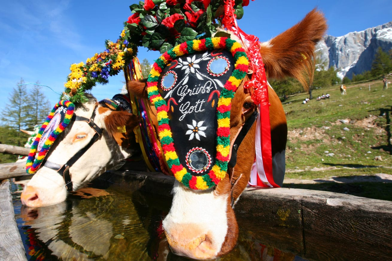 Decorated cow at the Almabtrieb